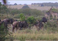 Central Maasai Mara